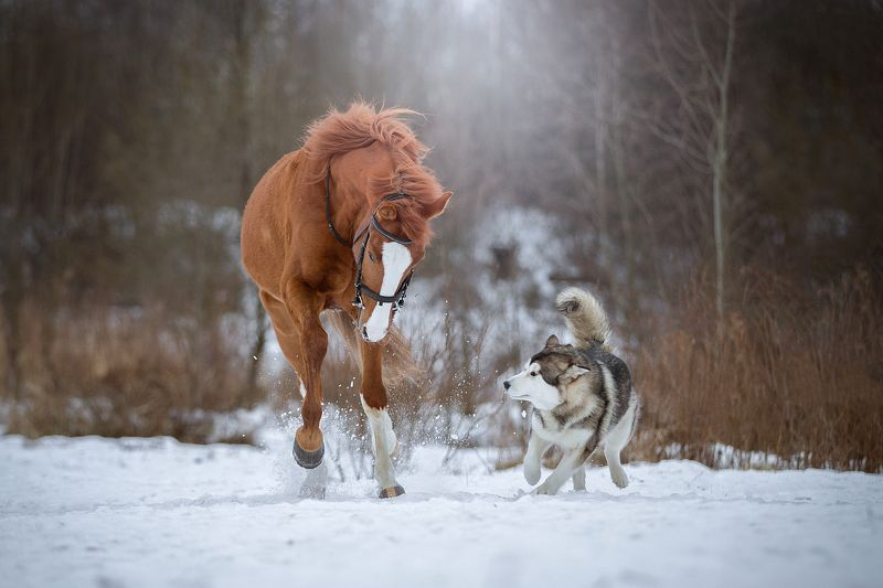 конь, маламут, собака, аляскинский, снег, зима, парк Играть, играть:)))photo preview