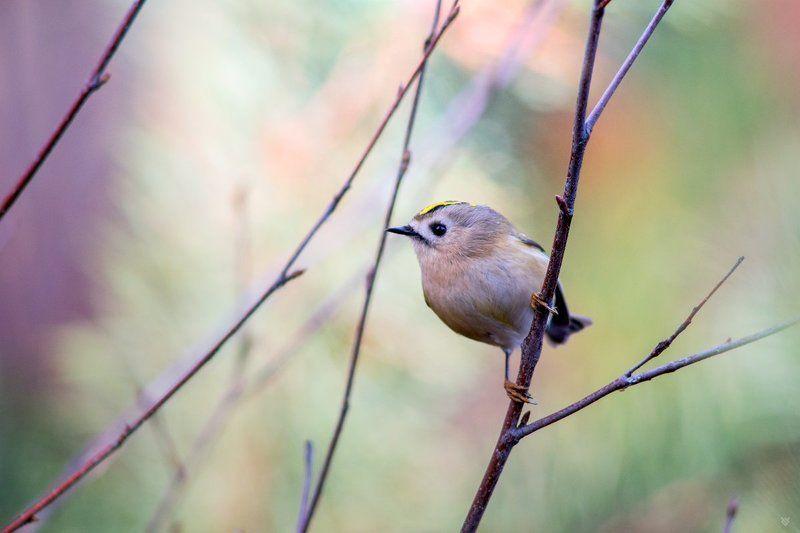 Goldcrest, birds, wildlife Goldcrest in pastelsphoto preview