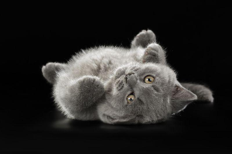 котенок, милый, прелестный, студия, черный фон Очаровательный малыш...photo preview