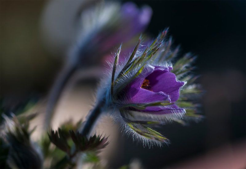 springtime,flower,color Pasque flowerphoto preview