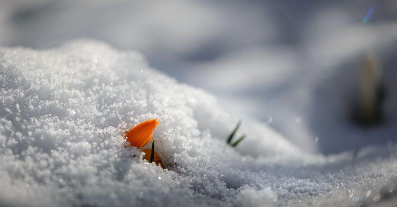 весна, апрель, снег, белый, пушистый, искрящийся, первоцветы, крокус, желтый, Апрельский снегphoto preview