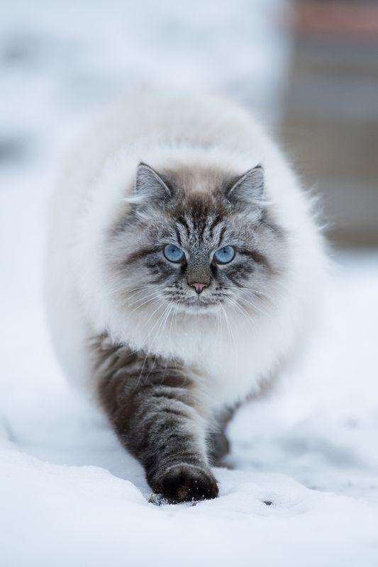 Кошки на снегу...photo preview