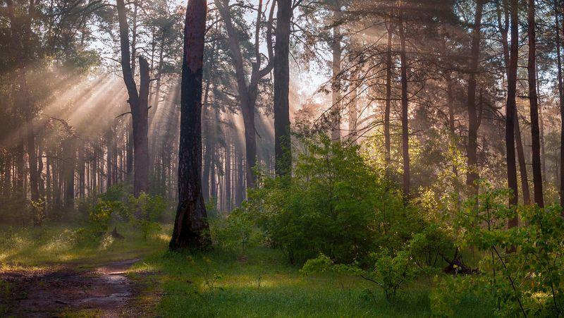 landscape, пейзаж, утро, лес, сосны, деревья, солнечный свет, солнечные лучи, солнце, утро в лесуphoto preview