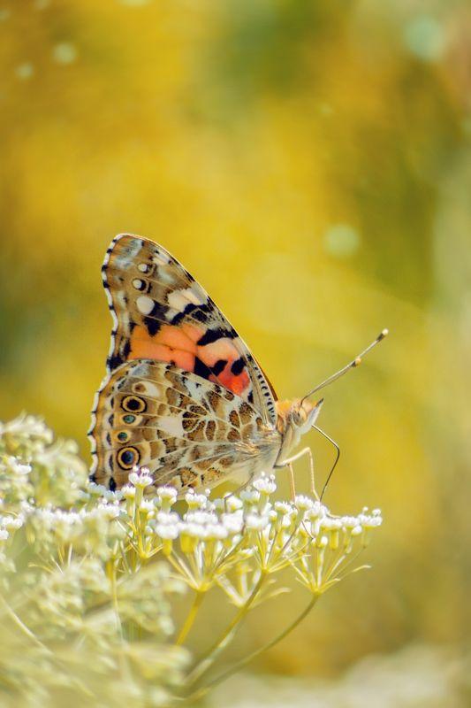 бабочка,цветы, желтый, лапки, цвет Мраморная красавицаphoto preview