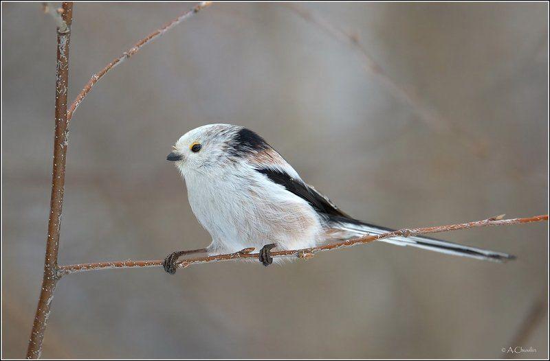 птица,ополовник,канатоходец Канатоходец )photo preview