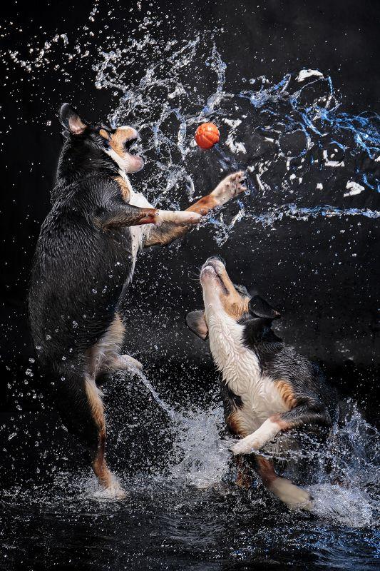 собаки, студия, энтлебухеры Вотерполо..photo preview