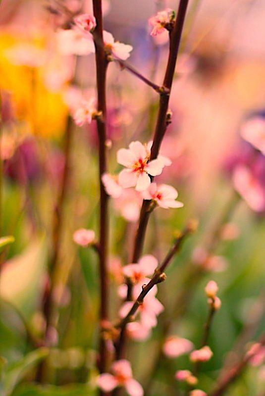 сакура, sakura Sakura 桜photo preview