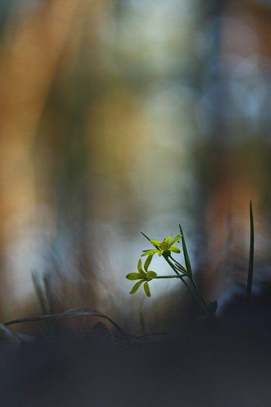 гусиный, лук, жёлтый, gagea, lutea, самарский лес Лучокphoto preview