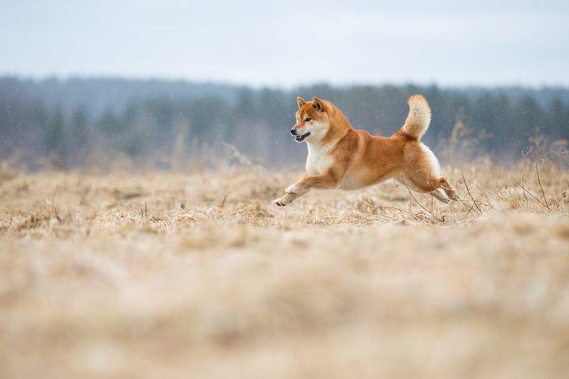 Собака, поле полет, динамика.. Полет над полем 2..photo preview