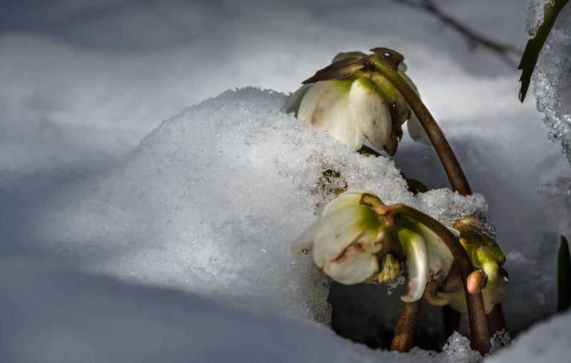 природа, макро, весна, апрель, снег, белый, пушистый, капризы природы, цветы, морозник черный Десертphoto preview