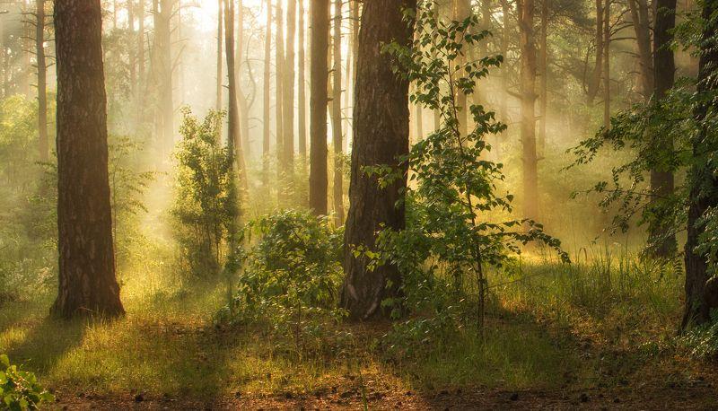 landscape, природа, пейзаж, весна , лес, деревья, солнечный свет, солнечные лучи, утро в лесуphoto preview