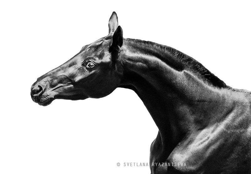 horse, black, isolated, monochrome, head, portrait, лошадь, лошади, монохром, портрет Палитраphoto preview