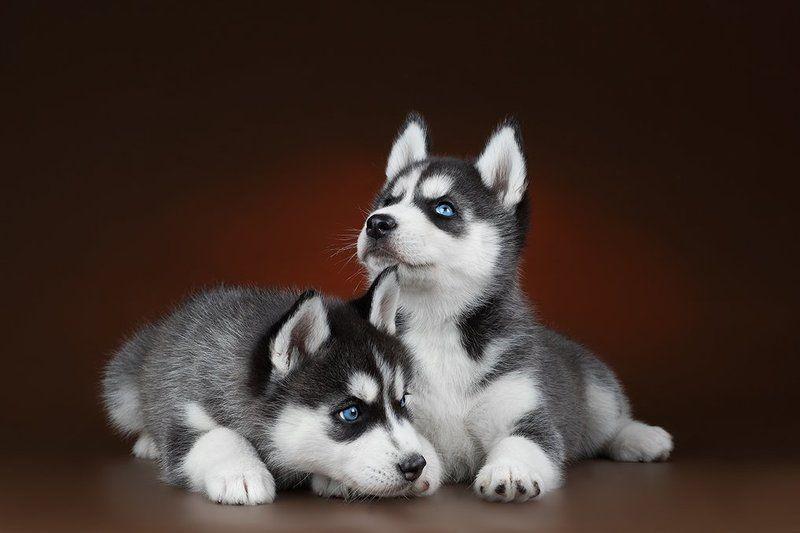 собки, щенки, милые, голубоглазые, хаски Две сестрицыphoto preview