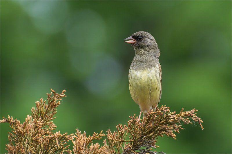 седоголовая овсянка, птицы ***photo preview