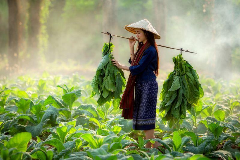 laos,woman,tobacco  In Tobacco field photo preview
