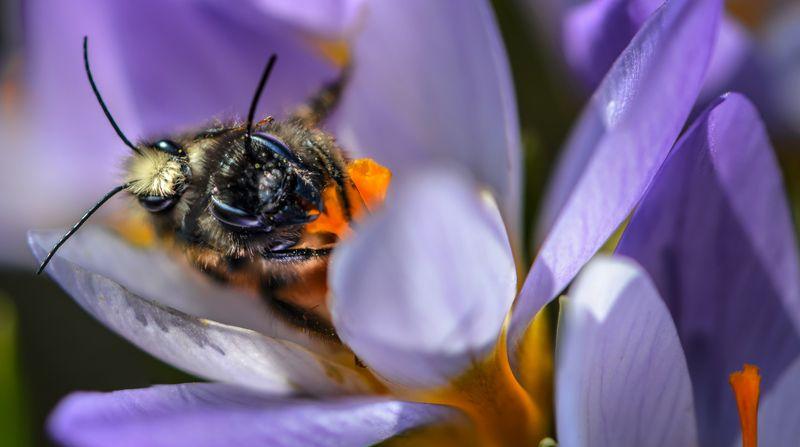 природа, макро, весна, цветы, крокус , насекомые, перепончатокрылые, пчела, макросекс ***photo preview