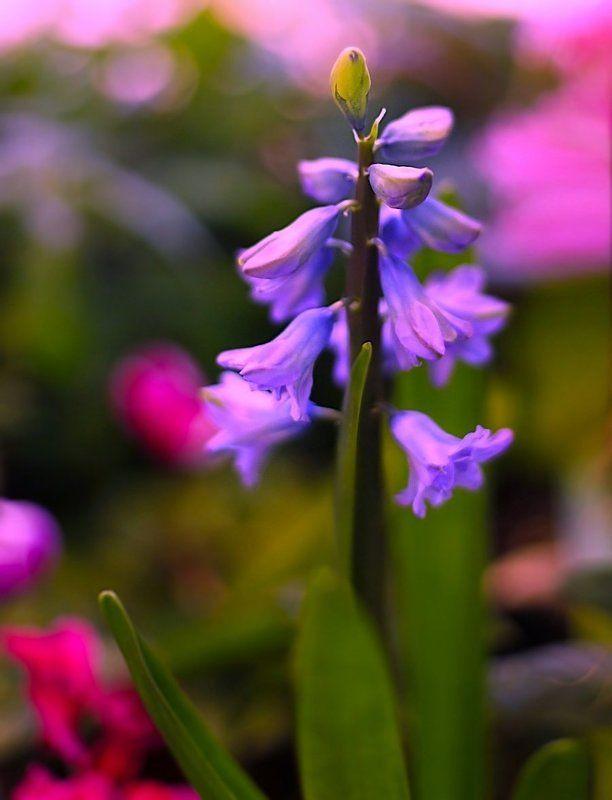 Hyacinthphoto preview