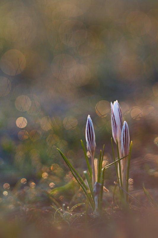 шафран, сетчатый, crocus, reticulatus, крокус, полосатый, самарский лес Тает иней поутруphoto preview