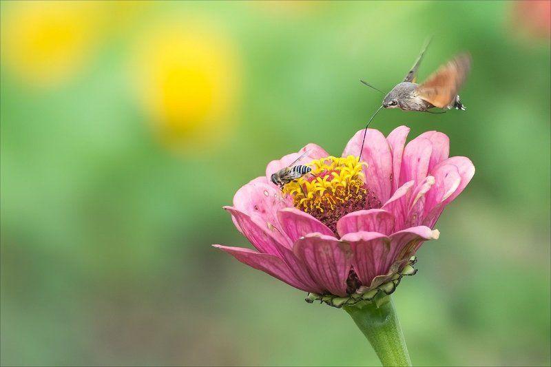 языкан обыкновенный, приморский край, насекомые Приморские колибриphoto preview