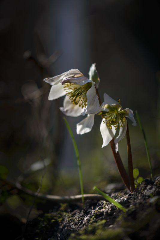 природа, макро, весна, цветы, морозник Морозникphoto preview