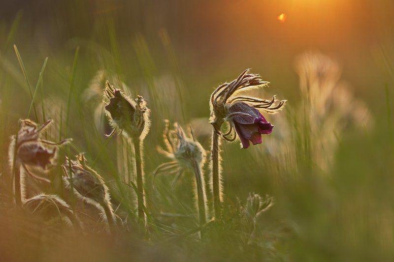 pratensis, pulsatilla, лесопарк дружбы народов, луговой, прострел, чернеющий, сон-трава Луговой прострелphoto preview