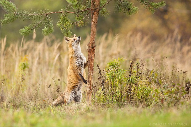 fox, fuchs, red fox, wildlife, hide, climbing, fields, poland, autumn, interest Climbingphoto preview