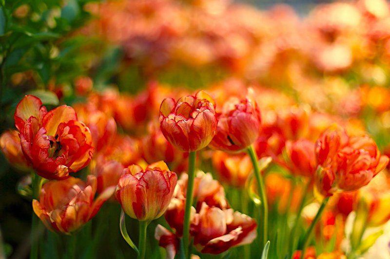 тюльпаны, tulips, цветы, flowers, весна, spring ***photo preview