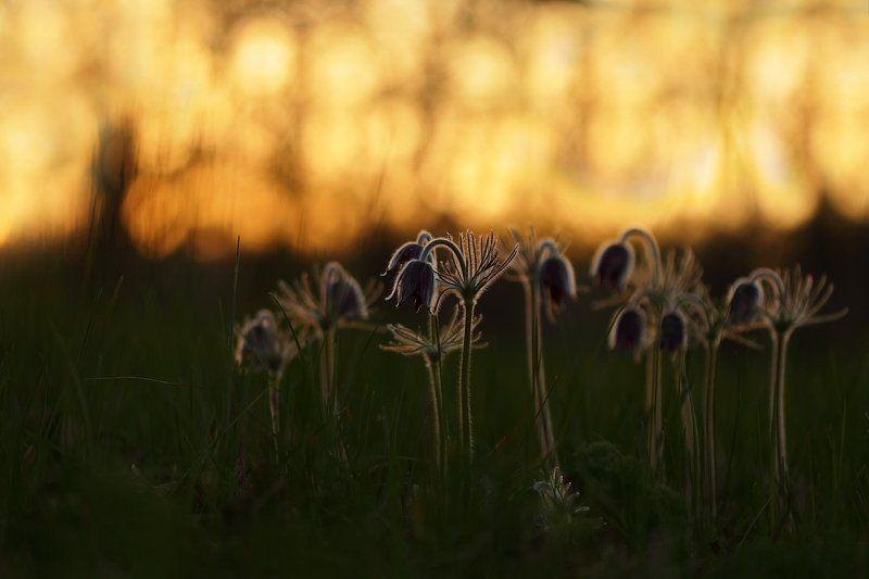 pratensis, pulsatilla, лесопарк дружбы народов, луговой, прострел, чернеющий, сон-трава Грядущие сны)photo preview