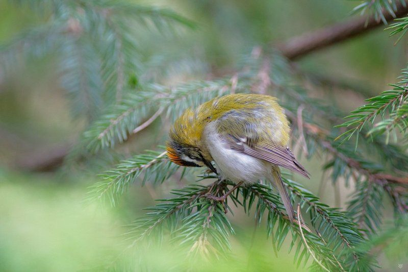 Sleepyhead,bird, wildlife, firecrest Sleepyheadphoto preview