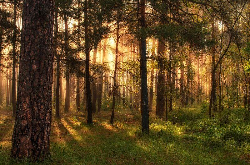 landscape, пейзаж, утро, лес, сосны, деревья, солнечный свет, солнечные лучи, солнце, природа утро в лесуphoto preview
