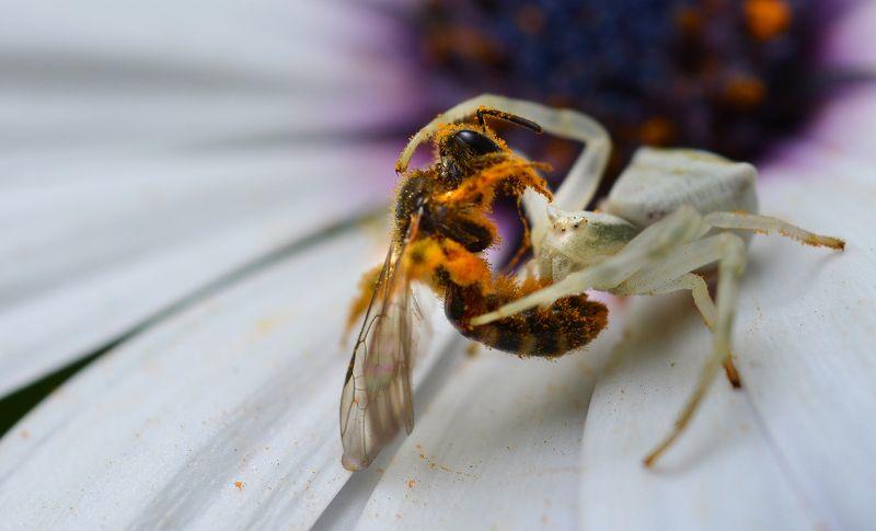 природа, макро, хищник и жертва, паук, мизумена, пчела Двойной нельсонphoto preview