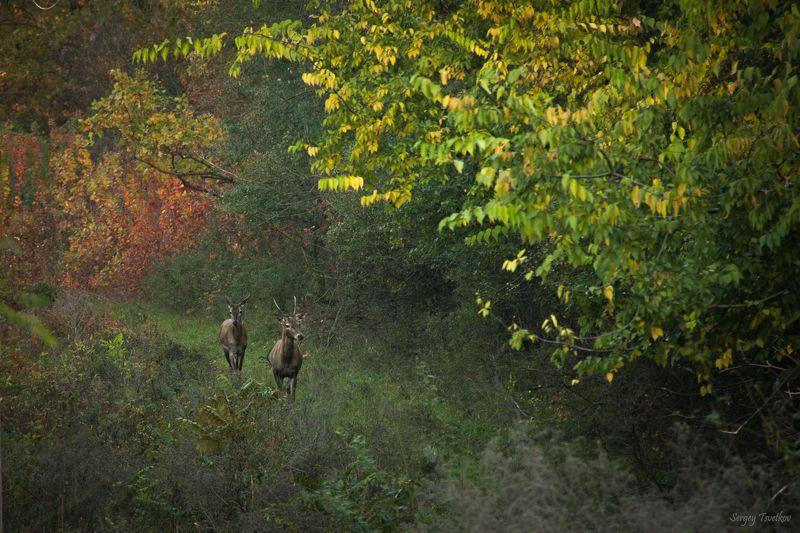 животные, лес, олень, олени, осень Осень для двоихphoto preview