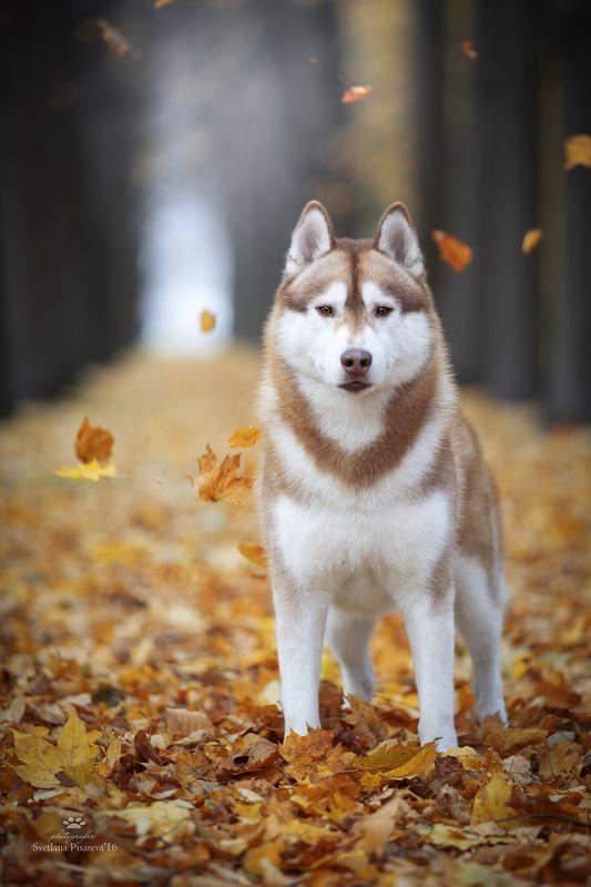 собака, осень, хаски, парк Осенний портретphoto preview