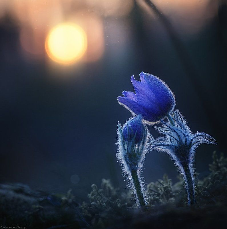 макро, макро красота, макро мир, макро истории, природа, украина, коростышев, сон-трава, лес, весна, любовь, закат, Жить любяphoto preview