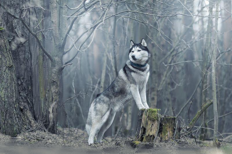 собака, лес, весна, туман Хаски в туманном лесу...photo preview