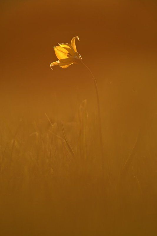 тюльпан, дубравный, tulipa, biebersteiniana, самарский лес Закатный минимализмphoto preview