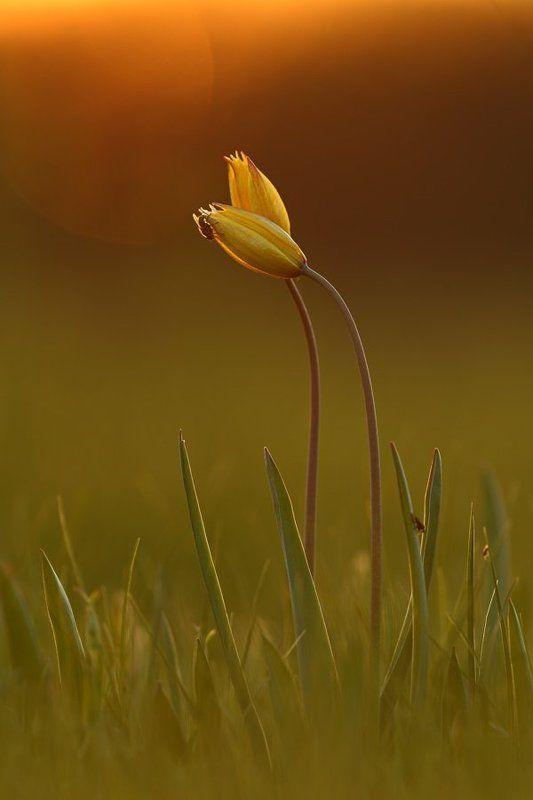 тюльпан, дубравный, tulipa, biebersteiniana, самарский лес Закатный романтизмphoto preview