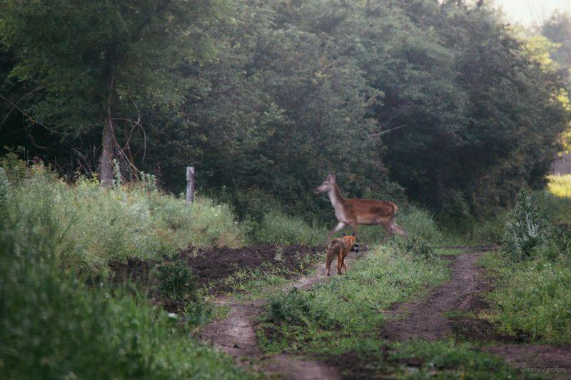 животные, лес, олень, осень, лисица, лиса Встреча!photo preview
