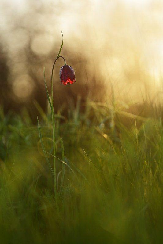 рябчик, малый, fritillaria, meleagroides, самарский лес Рябчикphoto preview