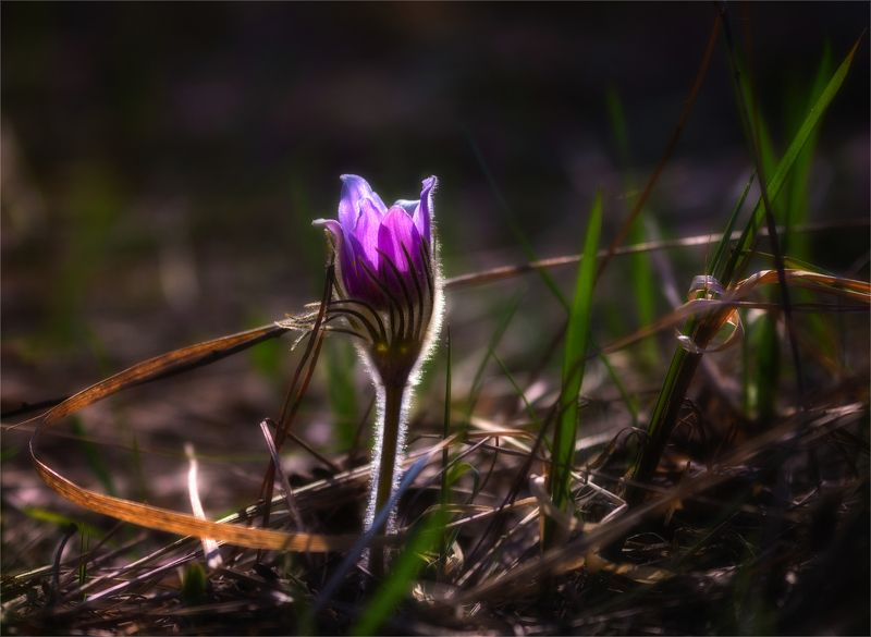 nature, природа,цветы,  весна, солнечный свет, сон-трава, минимализм, макро весенние зарисовкиphoto preview