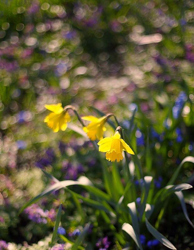 нарциссы, daffodils Daffodilsphoto preview