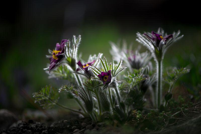 природа, макро, весна, цветы, прострел Мальчиши-плохишиphoto preview