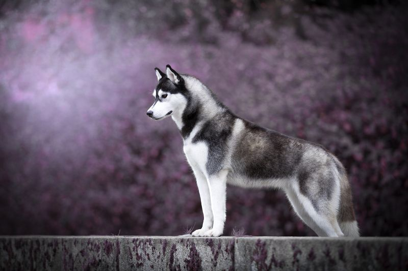 собака, хаски, парк, абстракция Хаскиphoto preview