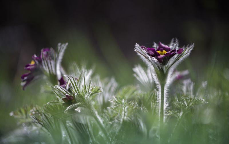 природа, макро, весна, цветы, прострел, сон-трава Сонphoto preview