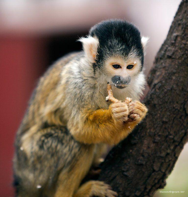 саймири, обезьяна, беличья обезьяна, израиль, йодфат, животные, приматы Беличья обезьянка саймириphoto preview