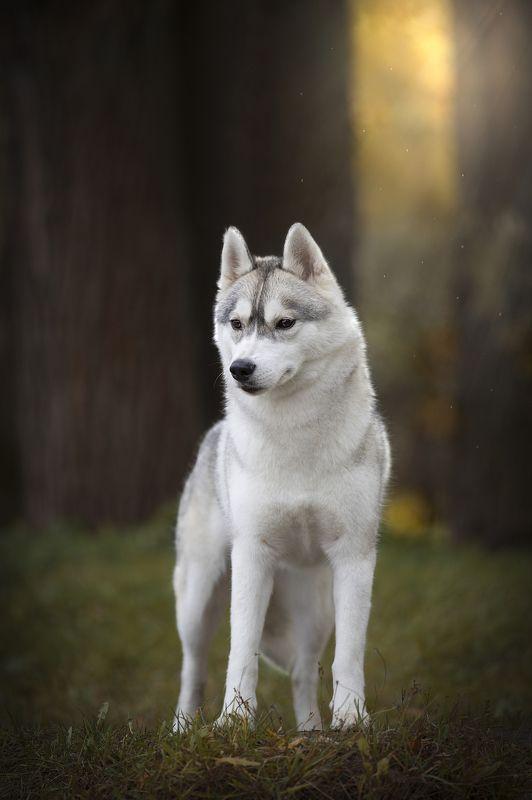 собака, осень, пар, Хаски Портретphoto preview