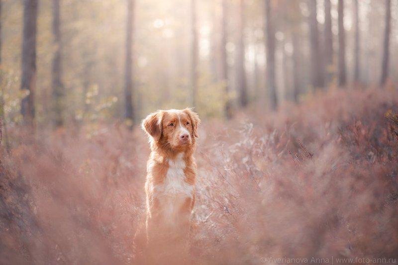 собака, лес, вереск, весна Весенняя серияphoto preview