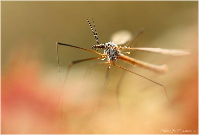 tipulidae,  долгоножка,  комар Марсианские хроникиphoto preview