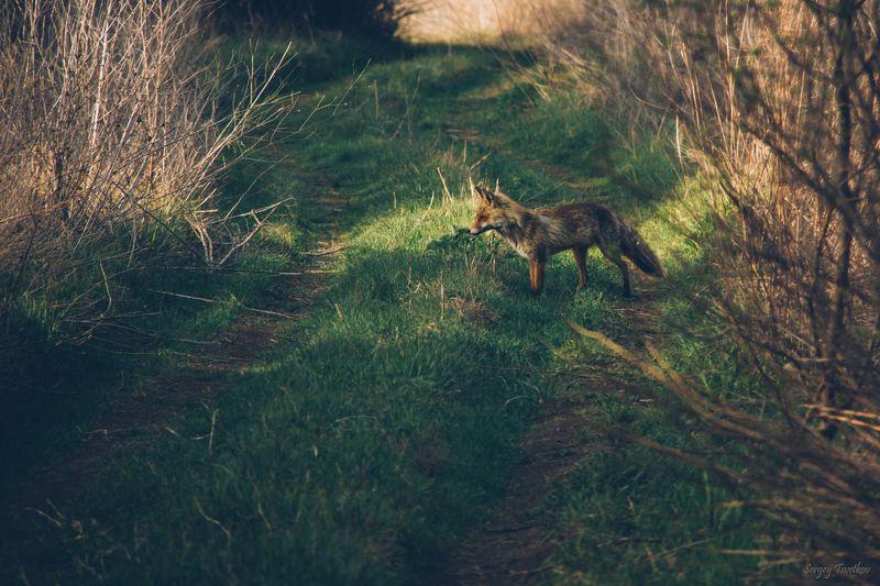 лисица, животные, природа В поисках добычиphoto preview