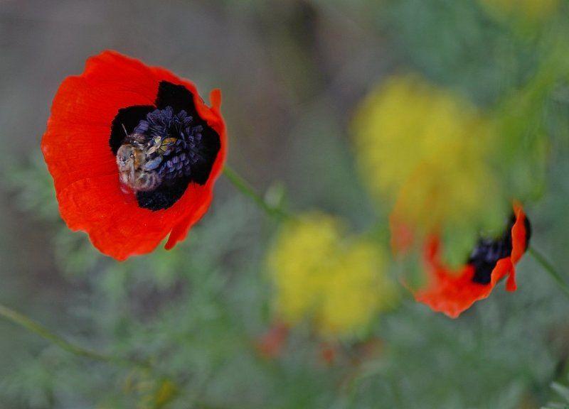 тюльпан Горный макphoto preview